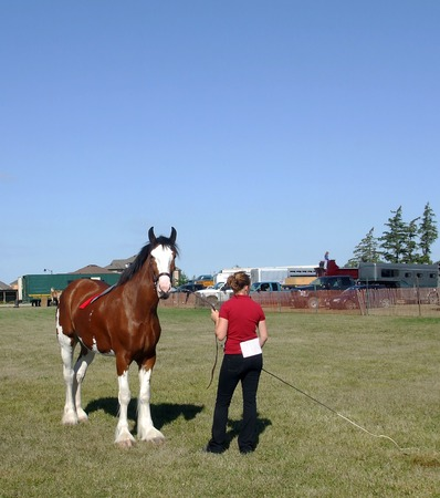 clydesdale: Showing a Clydesdale Stock Photo
