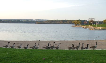 canadian geese: Row of Canadian Geese