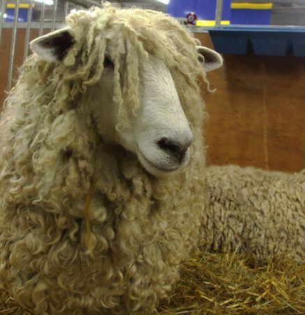 Long Wool Sheep Фото со стока
