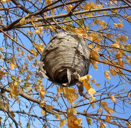Paper Wasp Nest photo