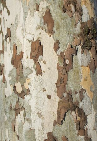 Beech Bark Disease Tree Camouflage Background