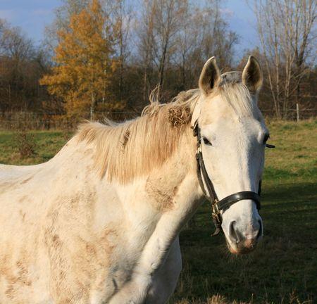 muddy: A muddy white horse.