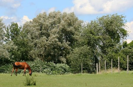 A Chestnut thoroughbred horse grazes in his pasture.