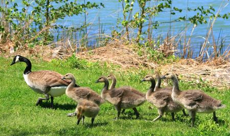 A mother Canadian goose leads her seven baby goslings at the park.