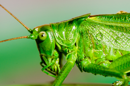 Extreme close-up macro of green grasshopper (Tettigonia viridissima) right after the rain with raindrops on the green body.
