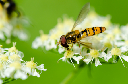 Closeup shot of a yellow wasp climbing  and eating the flower on a green background. Stock Photo