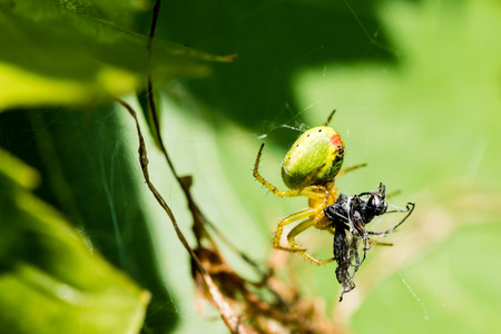 A small green spider (cucumber green spider - Araniella cucurbitina) eating small insect catched in the web.