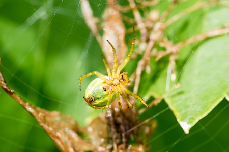 A small green spider (cucumber green spider - Araniella cucurbitina) on the web waits for a food. This spider is not poisonous for human.