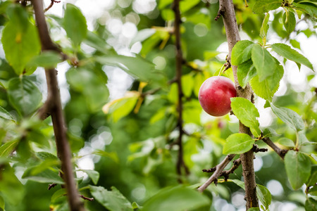 Tasty looking red ripe plum on the branch of the tree.