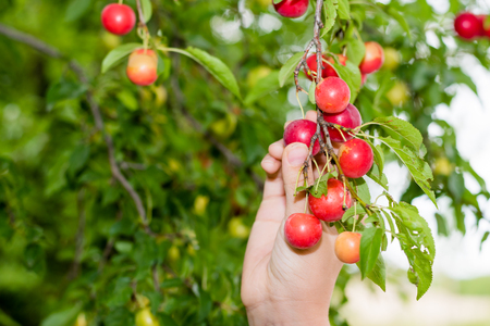 The girl harvests the ripe red plums from the tree. Stock Photo