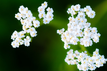 smooth: Macro photography of small white blossoms of flower on smooth green background. Stock Photo
