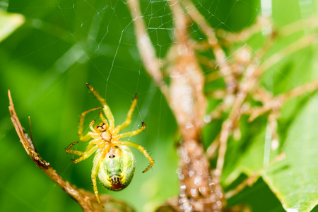 A small green spider (cucumber green spider - Araniella cucurbitina) on the web waits for a food. This spider is not poisonous for human. Smooth green background. Stock Photo