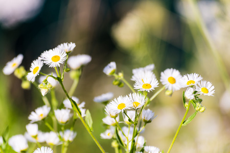 Nice chamomile flowers on meadow. Gentle green background, selective focus.