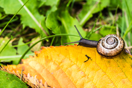 Small snail crawling on yellow autumn leaf in grass. Nice macro shot with selective focus. Foto de archivo