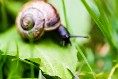Small snail crawling on green leaf in grass. Nice macro shot with selective focus.