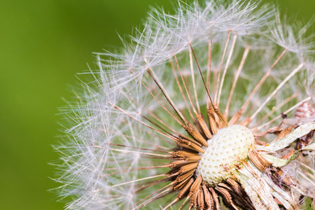 smooth: Detail of part dandelions head full of white ripe seeds. Selective focus, smooth green background. Macro shot at the end of summer.