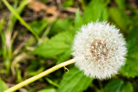 smooth: Detail of dandelions head full of white ripe seeds. Selective focus, smooth green background. Macro shot at the end of summer.
