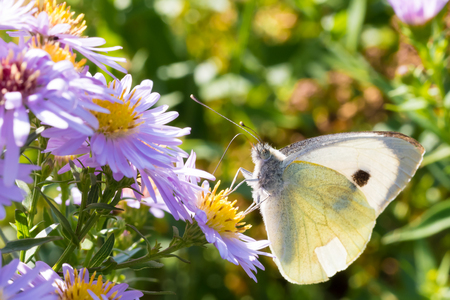 pieris: The cabbage butterfly sitting on a flower (Aster amellus) and feeding on nectar. Also known as large white or Pieris brassicae. Close-up with selective focus, shallow depth of field. Stock Photo