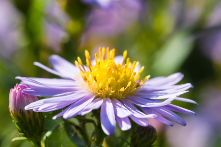 asteraceae: Beautiful meadow purple flowers also known as Aster amellus or European Michaelmas-daisy. Close-up shot.