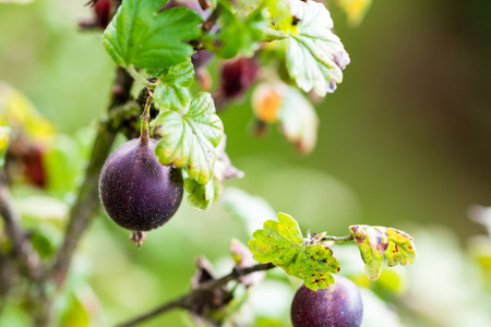 Sweet and fresh gooseberry growing in the garden. Close up, selective focus.