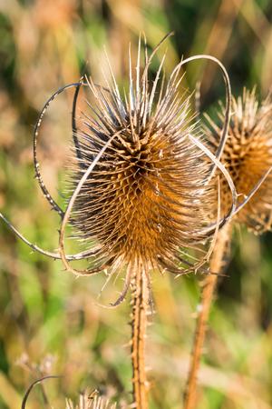 夏の終わりにフィールドで成長しているアザミを乾燥させます。クローズ アップ ショット。