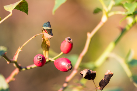 Detail of wild red rosehip brier on autumn. Selective focus, close-up shot.