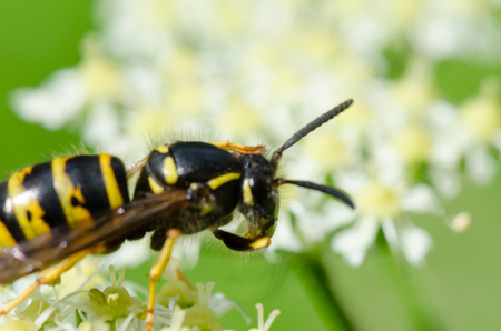 Yellow wasp climbing  and feeding on a nectar. Selective focus, macro photography. Banque d'images