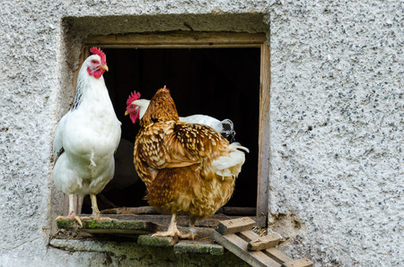 Some hens leaving coop and climb down the ladder. There are a big grey wall with significant texture. Stock Photo