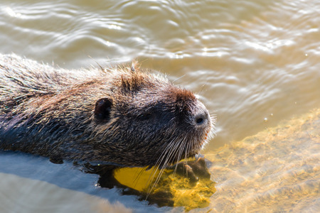 Nice big coypu in a pond in a water. Wildlife animal in the autumn.