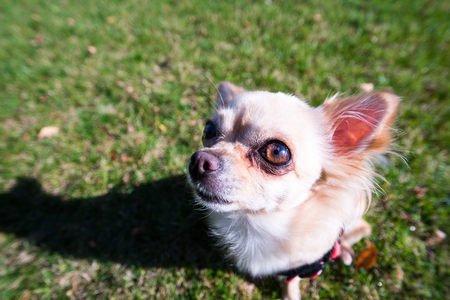 Very cute small dog chihuahua sitting on the grass. Funny looking puppy, wide angle lens. Stock Photo