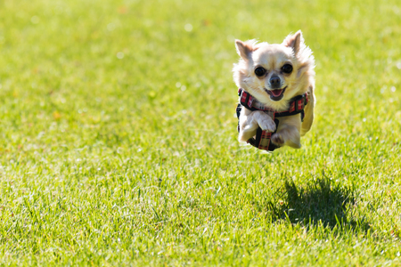 Small young cute chihuahua dog is running. Very happy dot, funny action shot caught in the air.