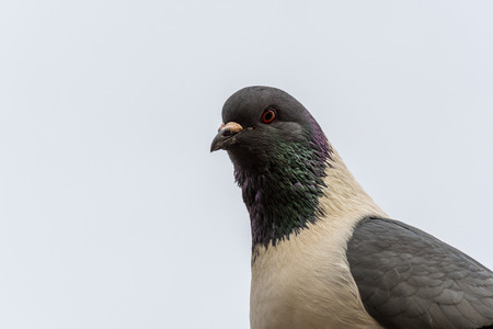Detail portrait of a pigeon (Columba livia f. domestica). White sky on a background, isolated, many details. Grey white colored bird.