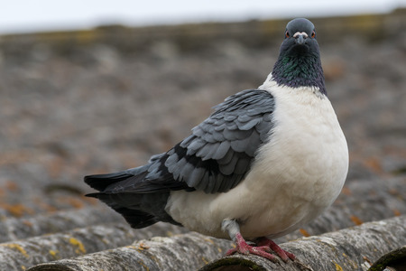 Detail portrait of a pigeon (Columba livia f. domestica) standing on a roof. Grey white colored bird.