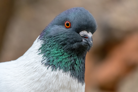 Detail portrait of a pigeon (Columba livia f. domestica). Brick wall on a background. Grey white colored bird. Blurred background, many details.