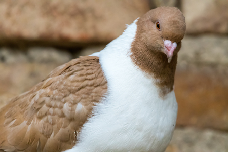 Detail portrait of a pigeon (Columba livia f. domestica). Brick wall on a background. Brown white colored bird.