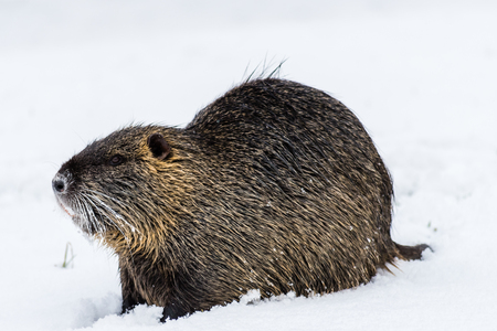 Big curious coypu (nutria) on the snow. Also known as water rat or Myocastor coypus.