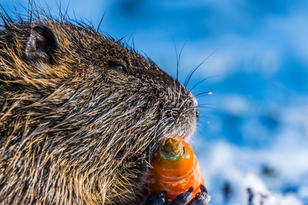 Big coypu eating carrot holding in small hands. Open mouth, orange teeth. Coypu also known as nutria or Myocastor coypus.