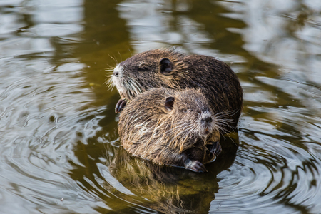 Two curious coypus sitting on a stone in the water and looking around. Stock Photo