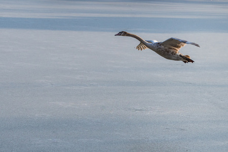 A young grey mute swan flying around over a frozen lake. Also known as Cygnus olor. Stock Photo - 96203834