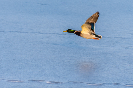 A mallard duck flying around over a frozen lake. Male duck. Also known as Anas platyrhynchos. Stock Photo