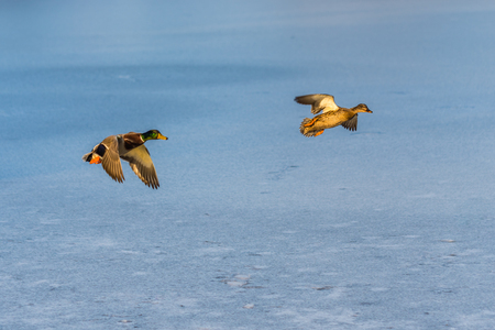 A pair of mallard duck flying around over a frozen lake. Male and female. Also known as Anas platyrhynchos. Stock Photo
