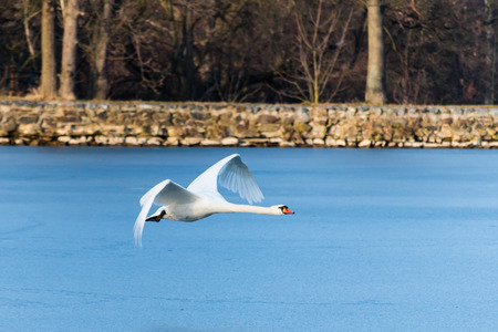 Swan flying over the frozen lake. A beautiful white bird in the air in the winter.