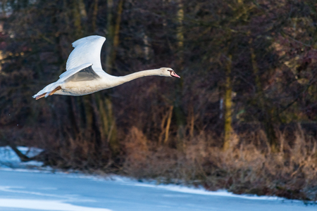 Swan flying over the frozen lake. A beautiful white bird in the air in the winter. Stock Photo - 96566985