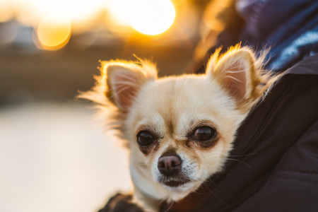 Small cute chihuahua dog in arms. Cute young puppy, big eyes, beautiful face. Sunset on background.