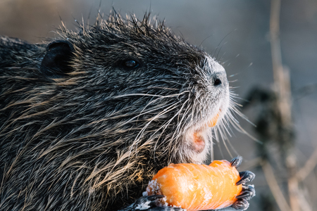 Portrait of wild coypu eating a carrot with view from side. Stock Photo