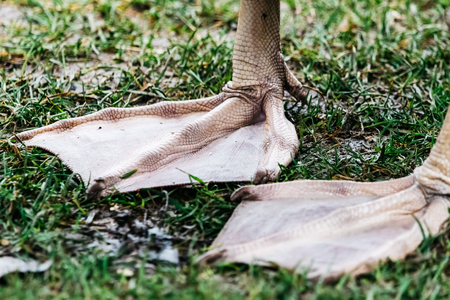 A pair of webbed legs of a swan. Detail of legs on a green grass, nice structure on a skin.