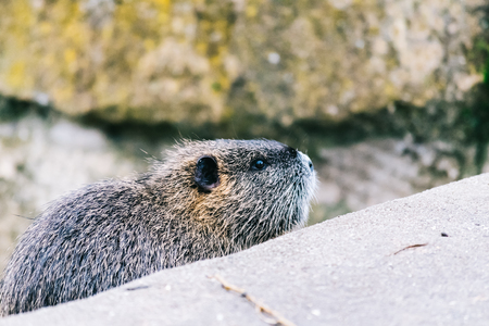 Curious coypu looking for something to eat. Funny wild animal also known as myocastor coypus or river rat.