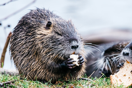 Portrait of wild coypu eating a bread.  Also known as myocastor coypus or river rat.