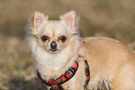 Cute long-haired beige chihuahua dog playing in the field. Adorable dog posing. Portrait Stock Photo