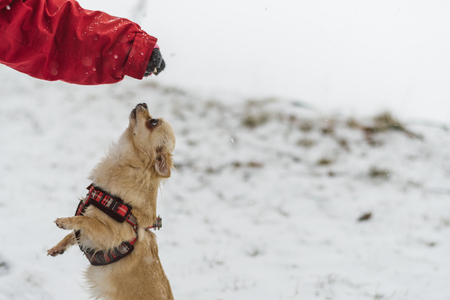 Cute long-haired beige chihuahua dog playing in the snow. Adorable dog in begging pose waiting for a reward.